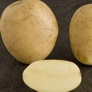 Seed potato ESTIMA