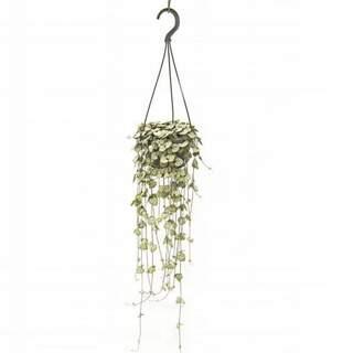 Ceropegia woodii hanging pot