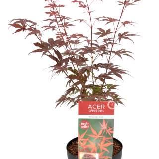 Acer palm. Atropurpureum