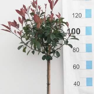 PHOTINIA SERR. RED ROBIN CLT 7 / 10     1/4 STD