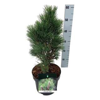 Pinus nigra  Komet    30-40 CM C5