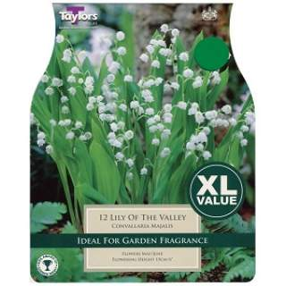12 LILY OF THE VALLEY