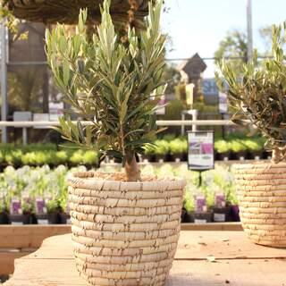 Arr. Garden plants basket 20 Olea Europaea Bush