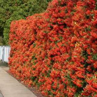 PYRACANTHA in Varieties