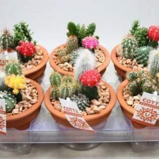 Cactus arrangement nr 952