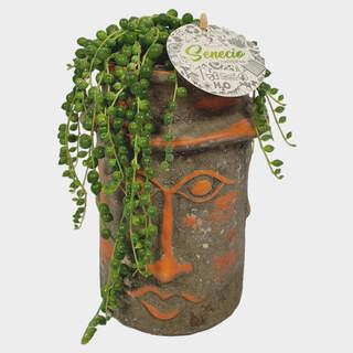 Senecio rowleyanus  15 cm ceramic pot