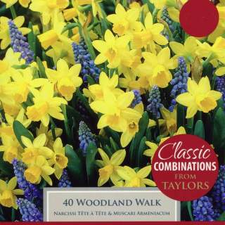 NARCISSI WOODLAND WALK XL