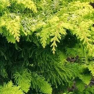 Chamaecyparis obt. Fernspray Gold