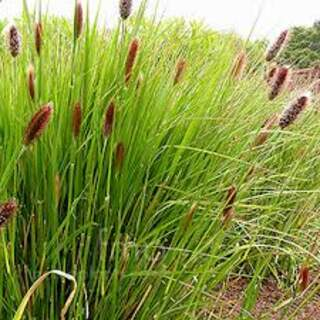 Pennisetum Red Bunny Tails