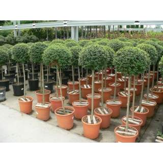 LIGUSTRUM JONANDRUM CLT 10     MINI-STD