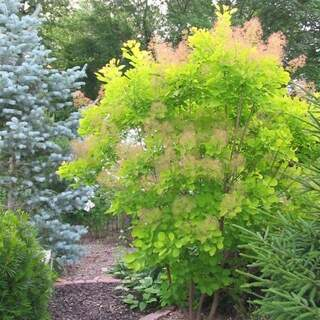 Cotinus cog. Golden Spirit  10 Ltr pot