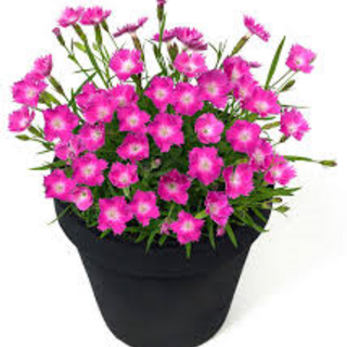 DIANTHUS Beauties Kahori