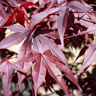 Acer palmatum Red Emperor / 100-125 CM