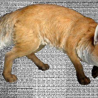 RL Prowling Fox A x 1