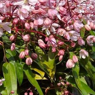 Clematis armandii Apple Blossom  2 Ltr, 4 canes
