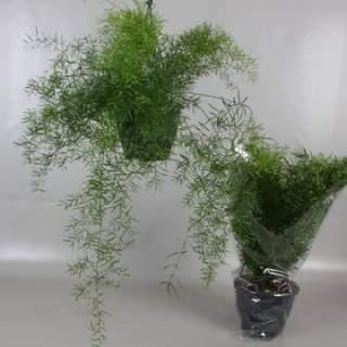 Asparagus dens. Sprengeri  P19, hanging pot