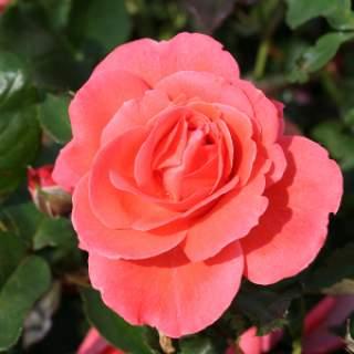 ROSA H Happy Anniversary Floribunda