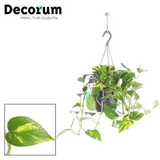 Epipremnum pinnatum Aureum  P18, hanging pot