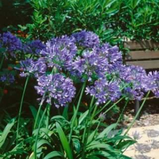 Agapanthus or. Blue Umbrella