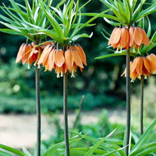 Fritillaria imperalis Aurora