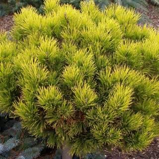 Pinus mugo Carstens Wintergold 20-25 CM