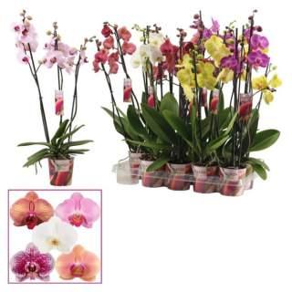 Phalaenopsis Scenza mix