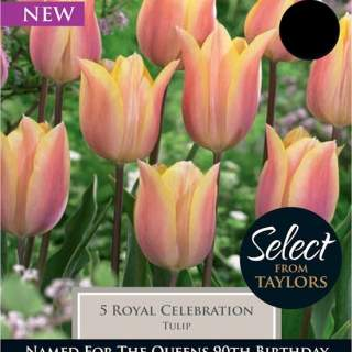 TULIP ROYAL CELEBRATION SEL