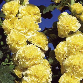 Alcea rosea Yellow