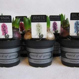 Hyacinthus orie. mix