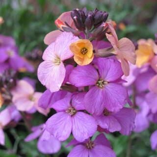 Erysimum Poem Lilac