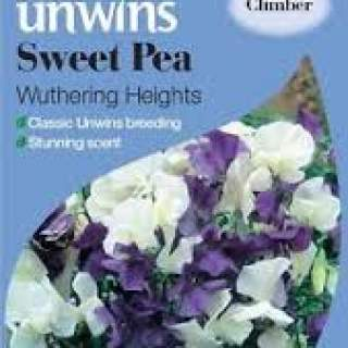 Sweet pea Wuthering Heights