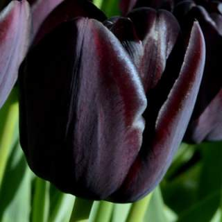 TULIP QUEEN OF NIGHT loose