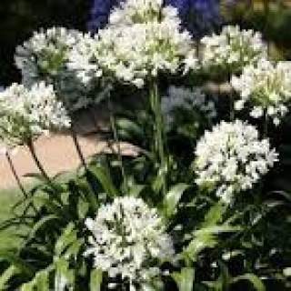 3 AGAPANTHUS WHITE 1-2 EYES