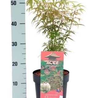 Acer Palm.  Jerre Schwartz