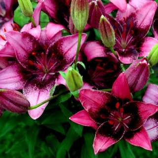 Lily Purple Dream