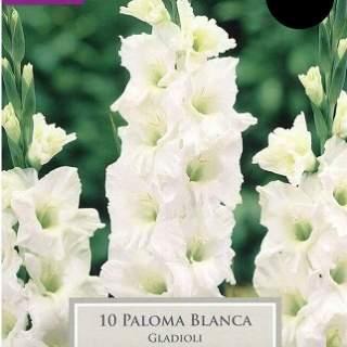 GLADIOLI PALOMA BLANCA 10-12