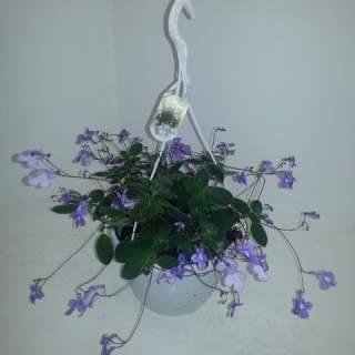Streptocarpus saxorum  P23, hanging pot