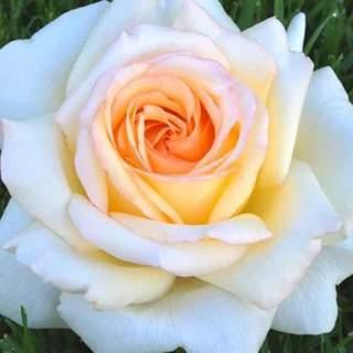 Rosa Anastasia