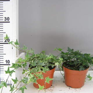 Large Ivy 3 for €12 Save €2.97