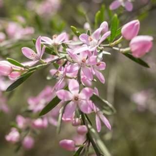 Eriostemon Flower Girl Pink