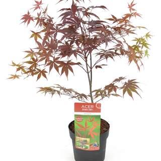 Acer palm Bloodgood