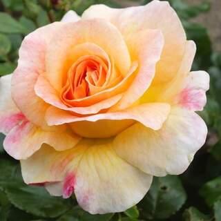 Rosa Designer Sunset