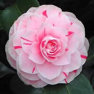 Camellia jap. Bonomiana