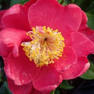 Camellia jap. Dr. King