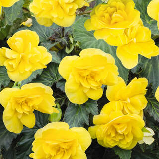 Begonia Nonstop Yellow or Red  1 Ltr