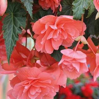 Trailing Begonia mixed colours
