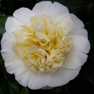 Camellia jap. Brushfields Yellow