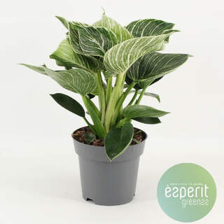 Philodendron White Wave