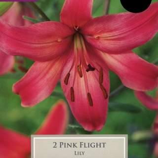 2 LILY PINK FLIGHT 14-16