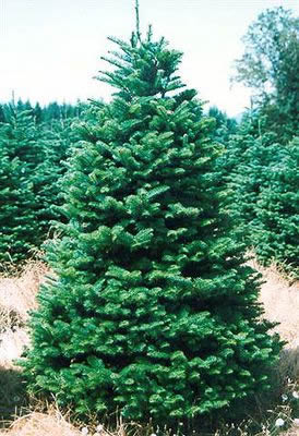 Christmas tree 3 to 3.5m | Fresh Christmas Trees | Christmas Trees | Windy  Ridge